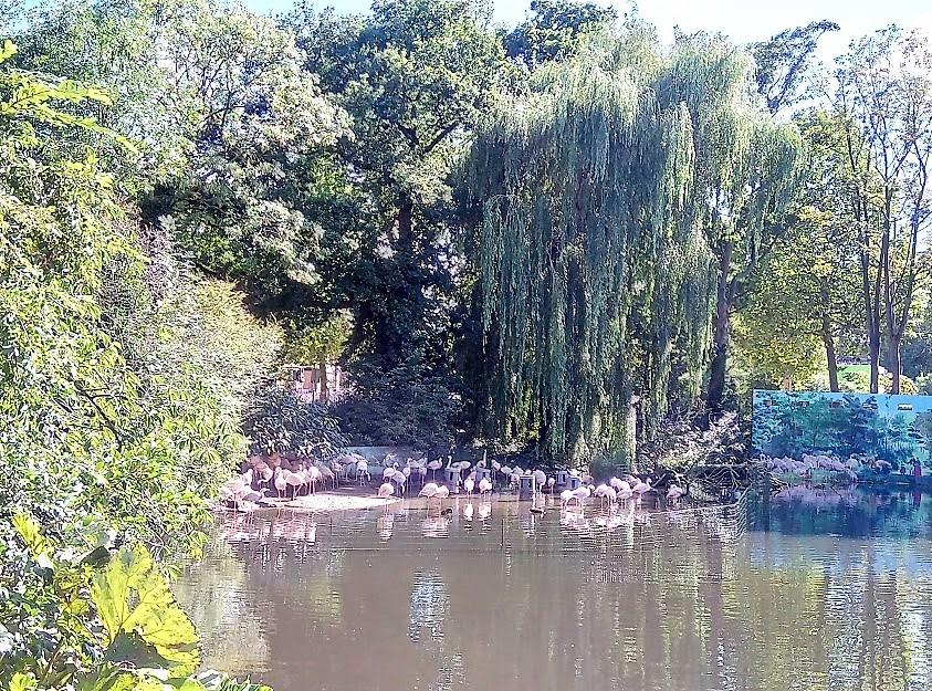 Ятото фламинги на зоологическата градина ARTIS (Амстердам) стоят на брега и във водата, под красиви дървета.